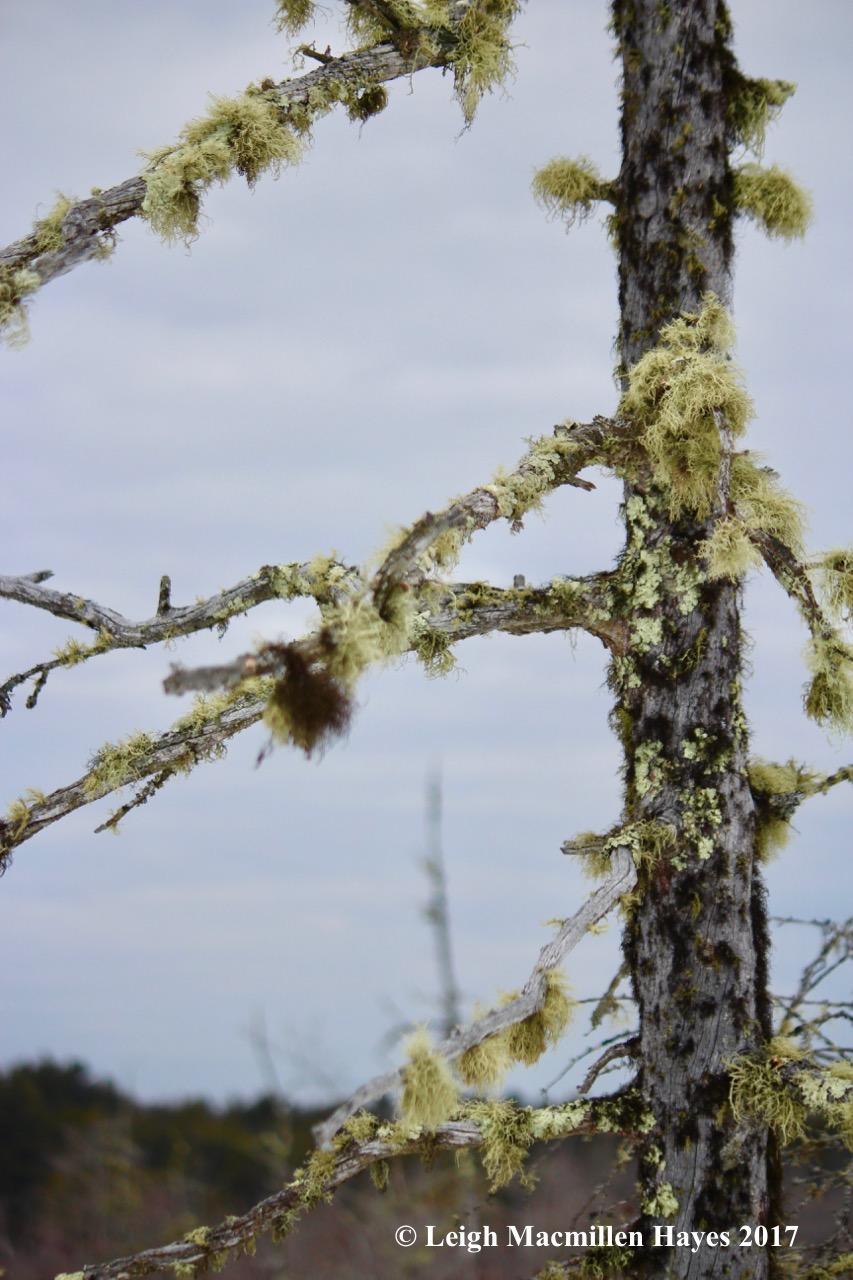 h-tamarack-lichens-1