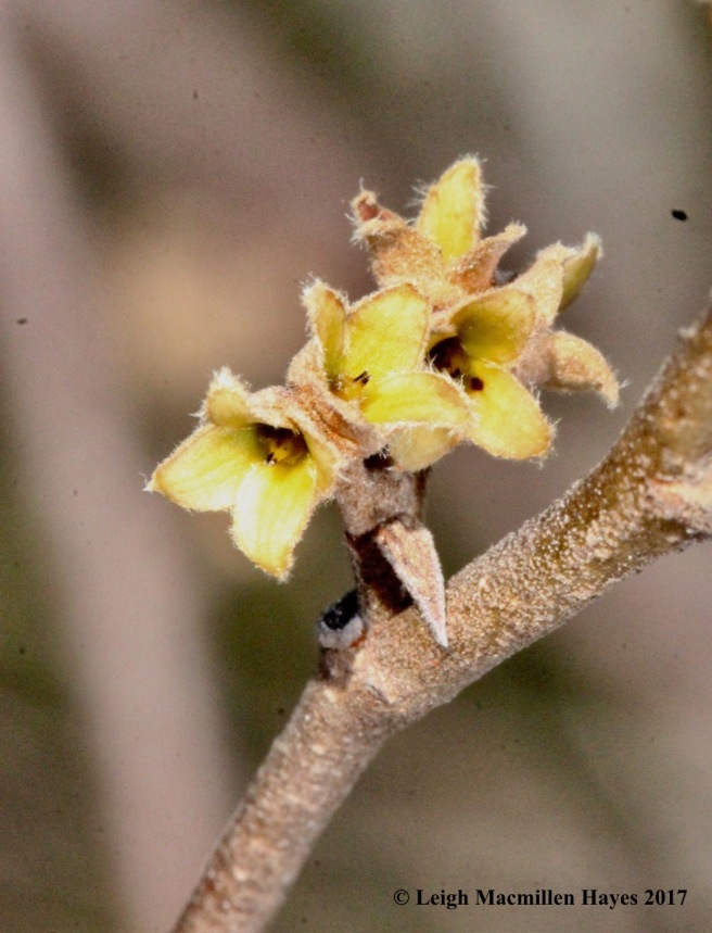 h-witch-hazel-flower-bracts