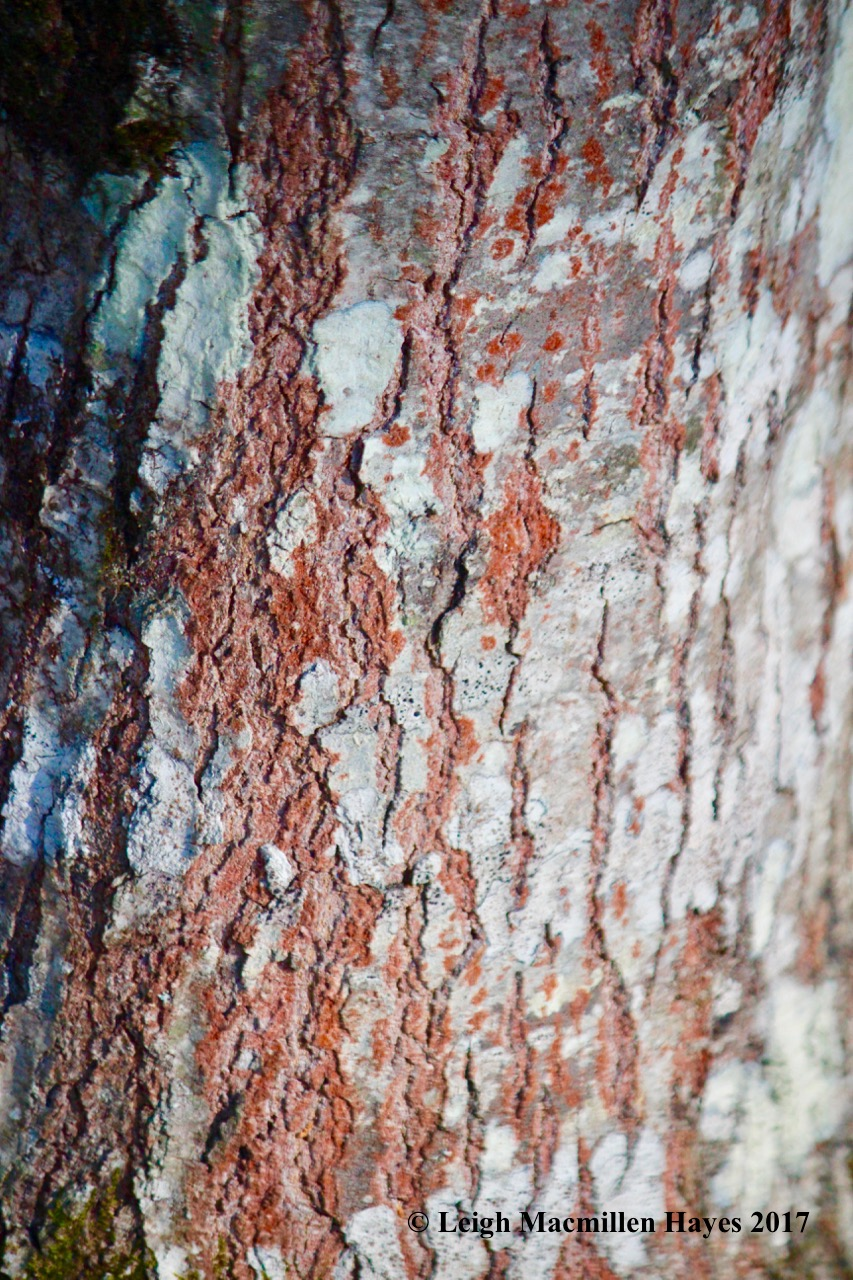 h1-red-oak-bark