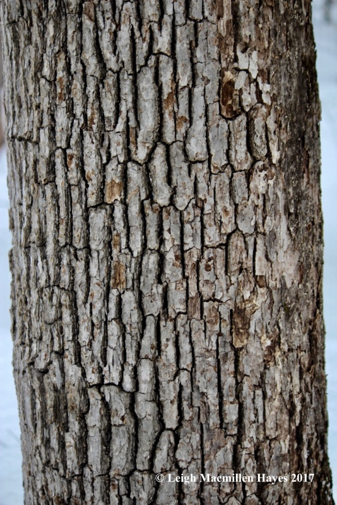 m11-white-oak-bark