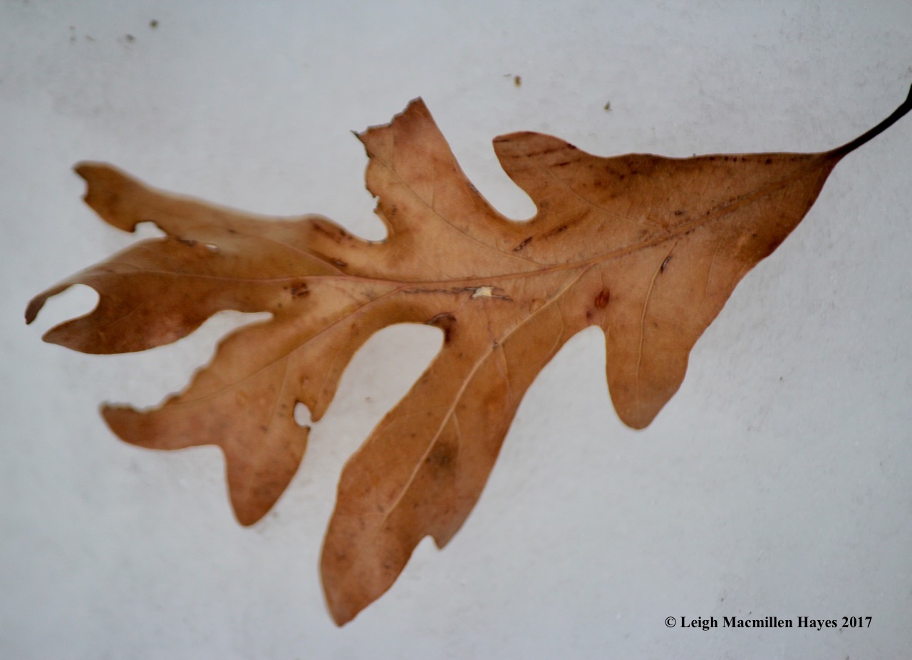 m12-white-oak-leaf