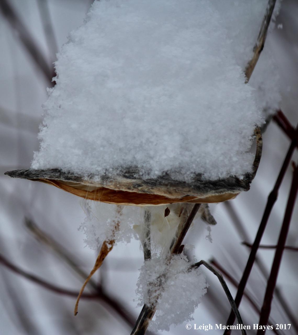p-milkweed