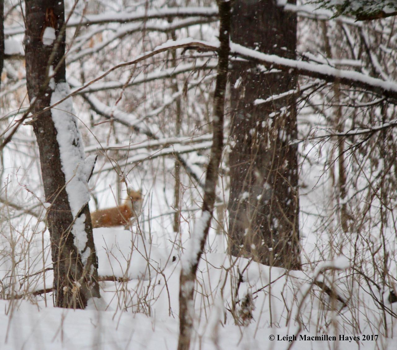 p-red-fox