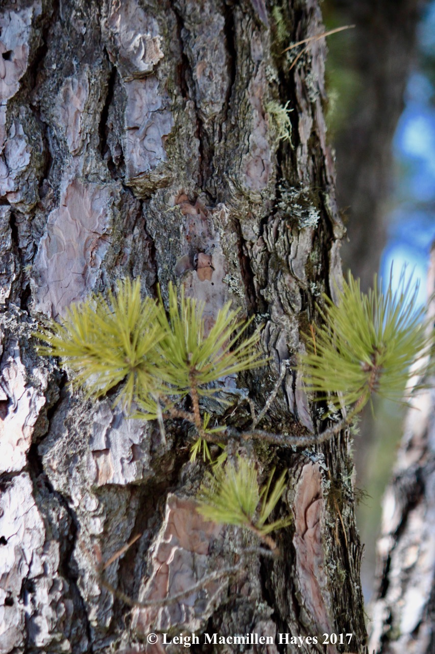 s-pitch-pine-growth