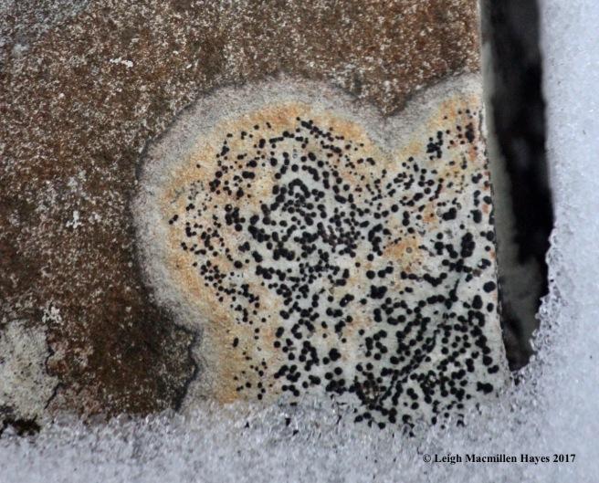 v9-lichen-2