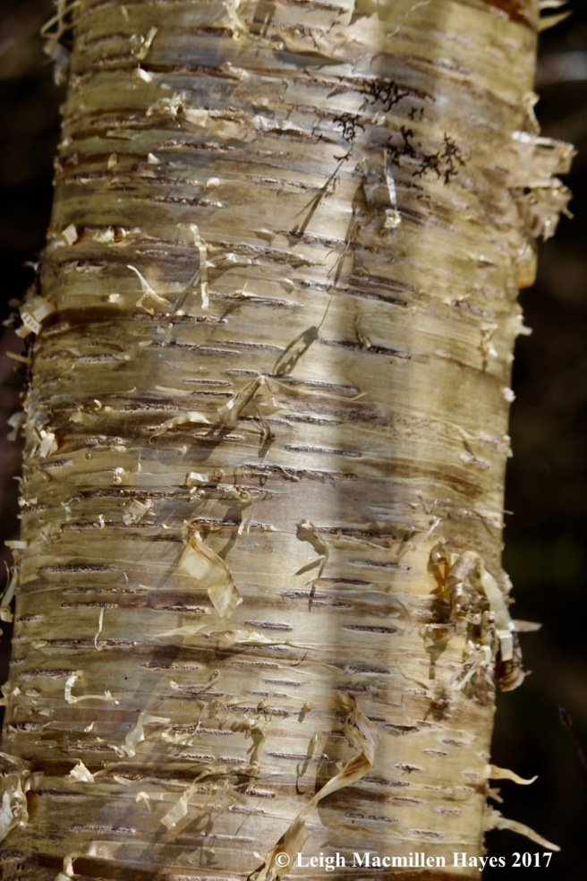 a-yellow birch