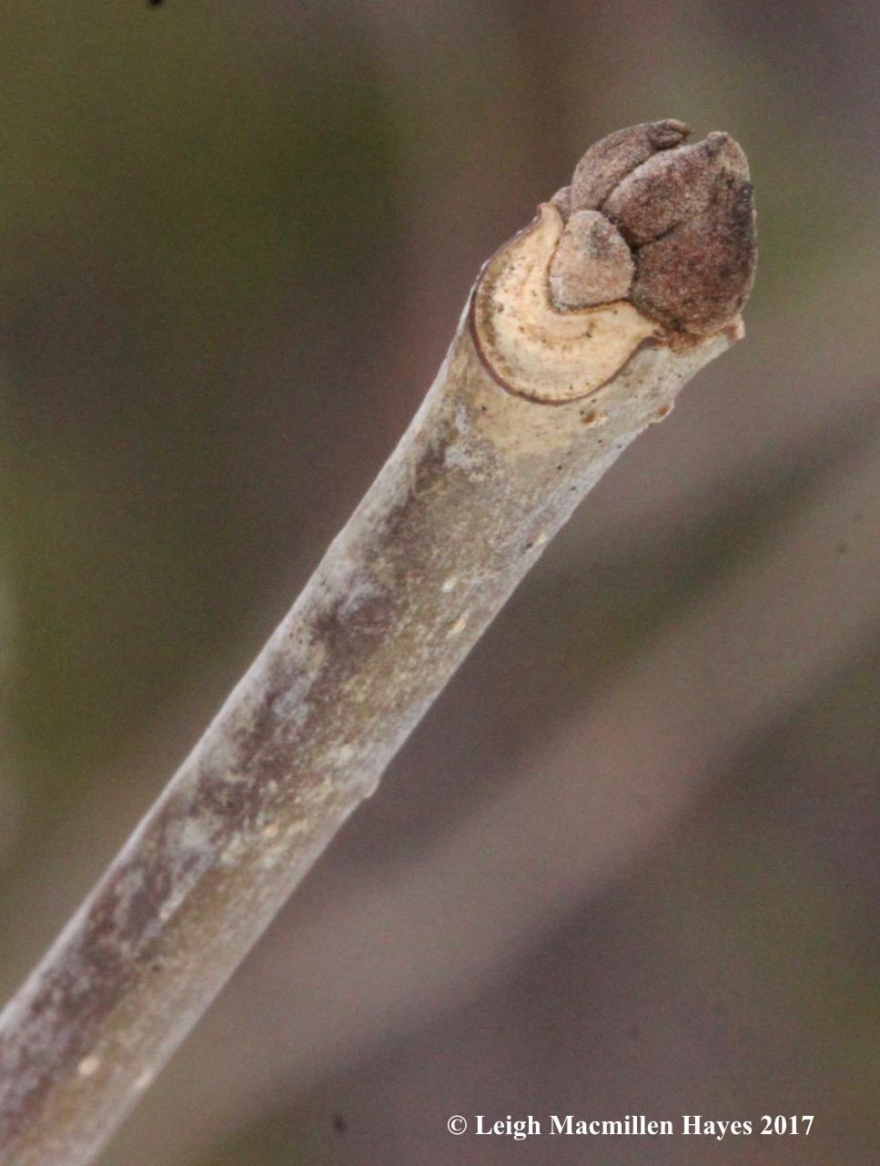 b-ash bud