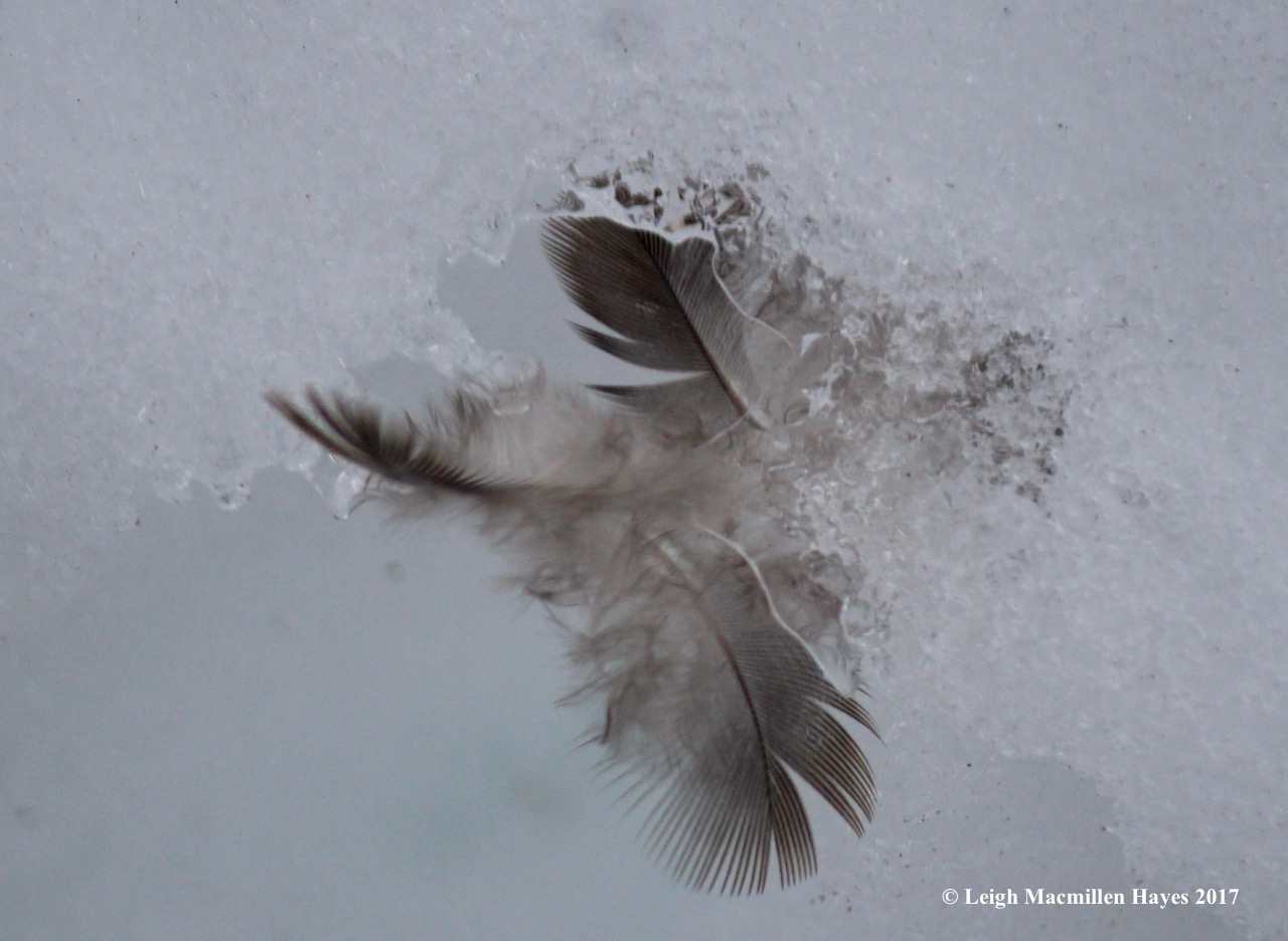 b-junco feathers 2