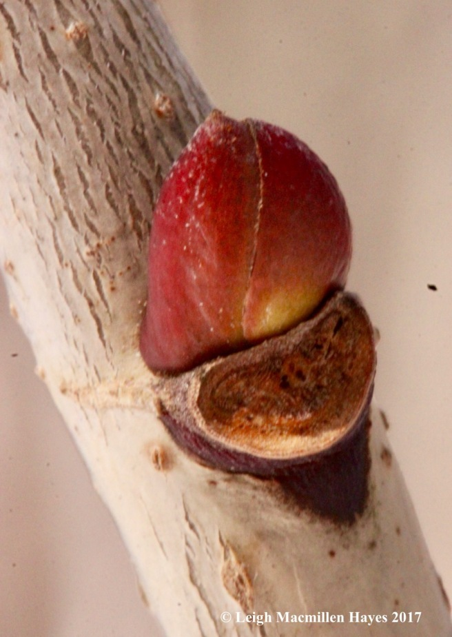 f-basswood lateral bud