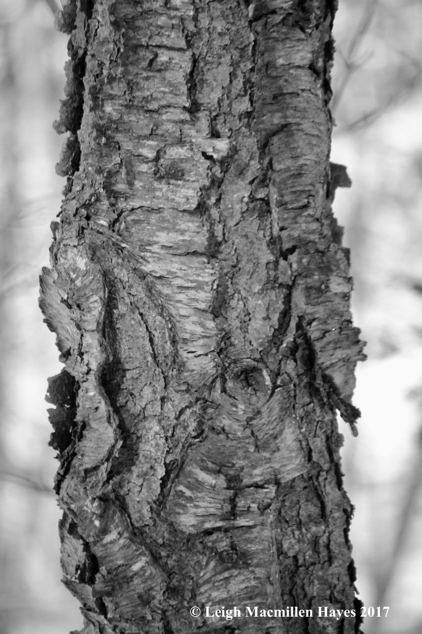f-cherry bark