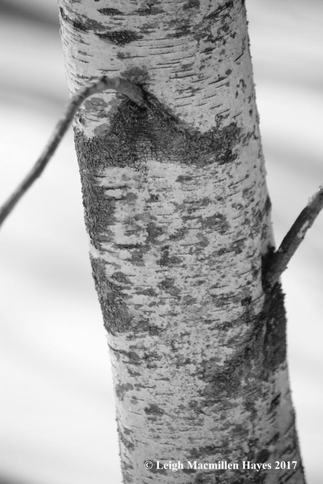 f-gray birch 1
