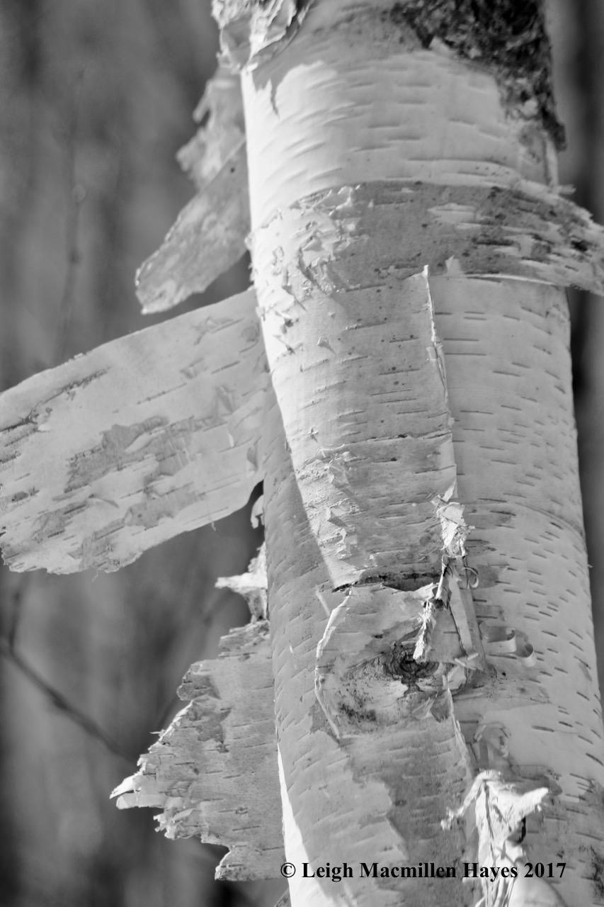 f-paper birch 1
