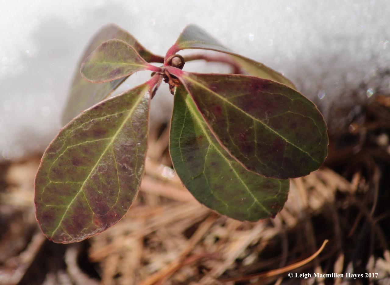 f-wintergreen