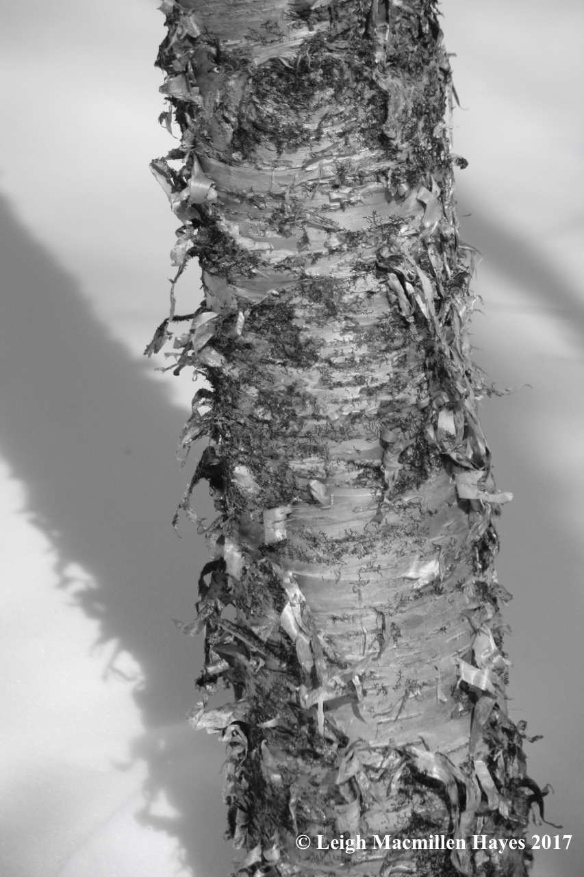f-yellow birch bark
