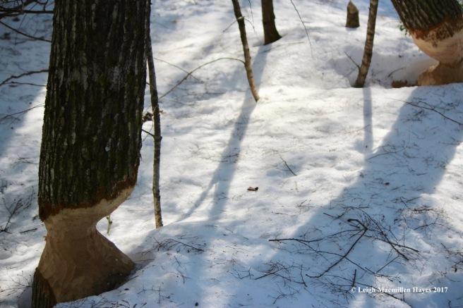h-beaver-trees