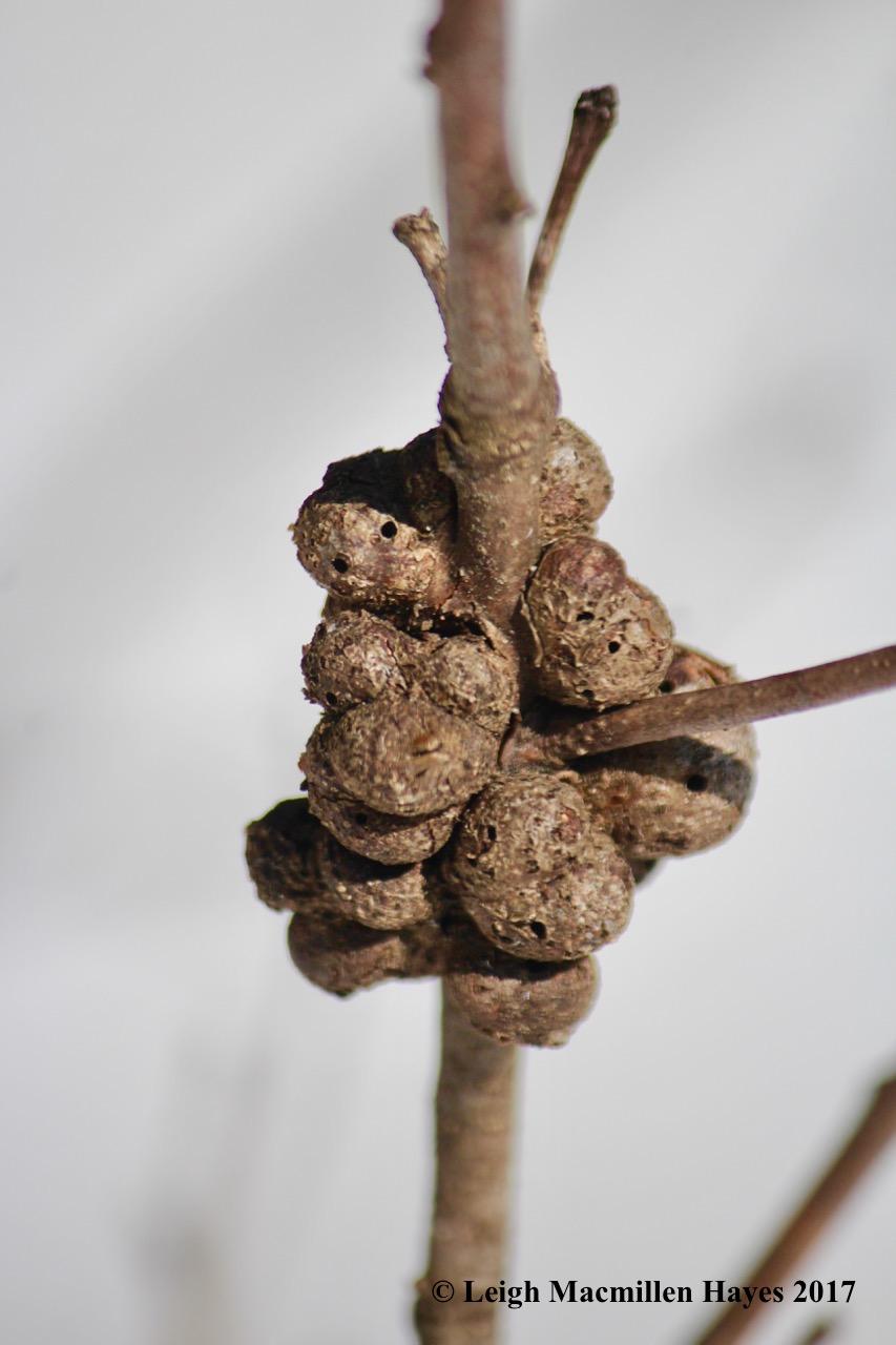 k-oak gall