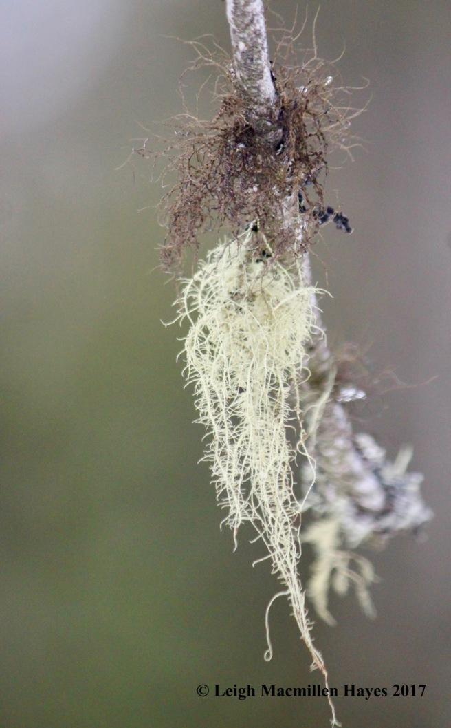 l-hair lichen and beard lichen