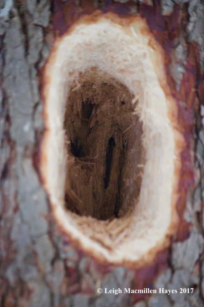 l-pileated hole