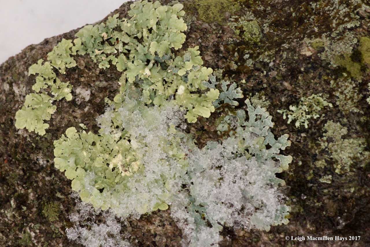 l-shield lichens on rock