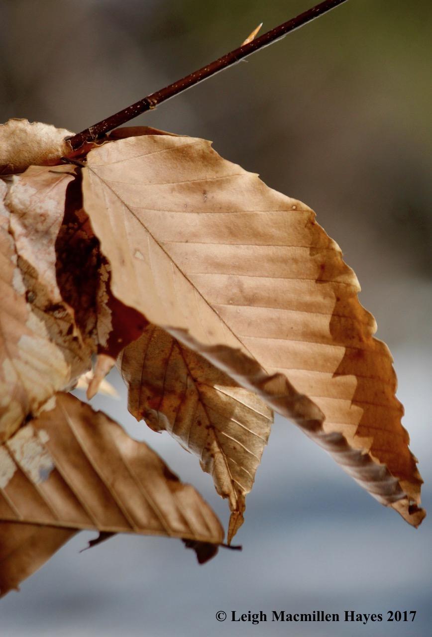 o-beech leaves