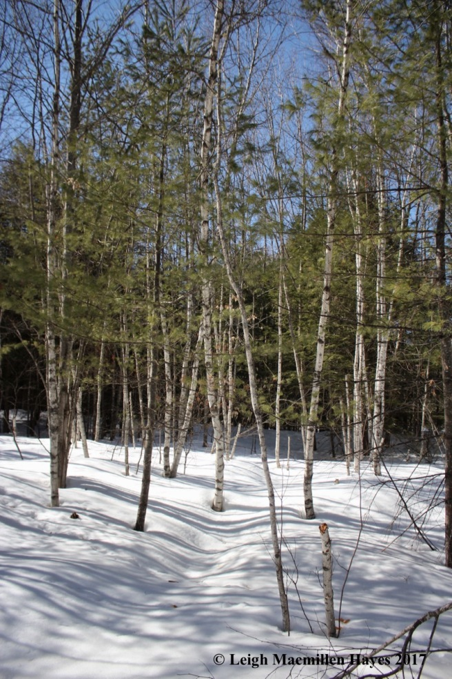 o-birch grove