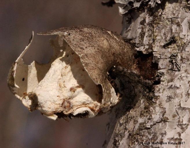 o-birch polypore skeleton