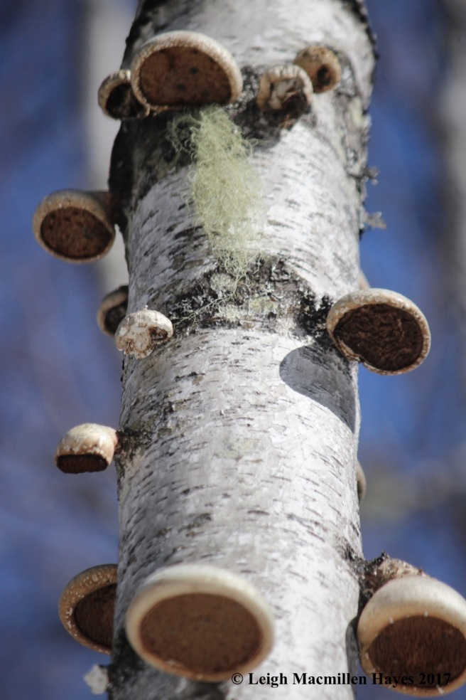 o-birch polypores growing old