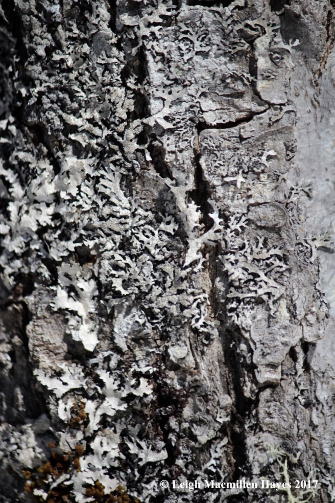 o-bs lichen