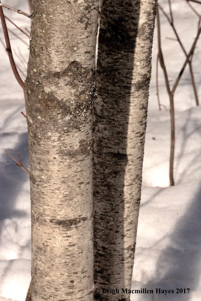 o-dirty gray birch bark