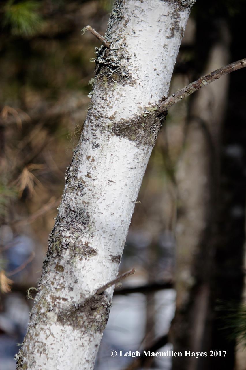 o-gray birch chevrons 1