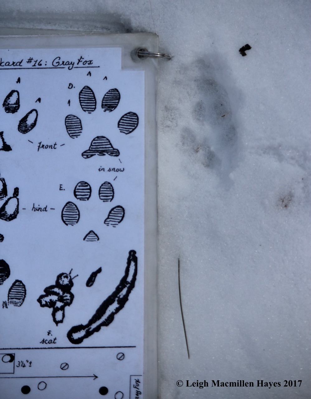 o-gray fox prints