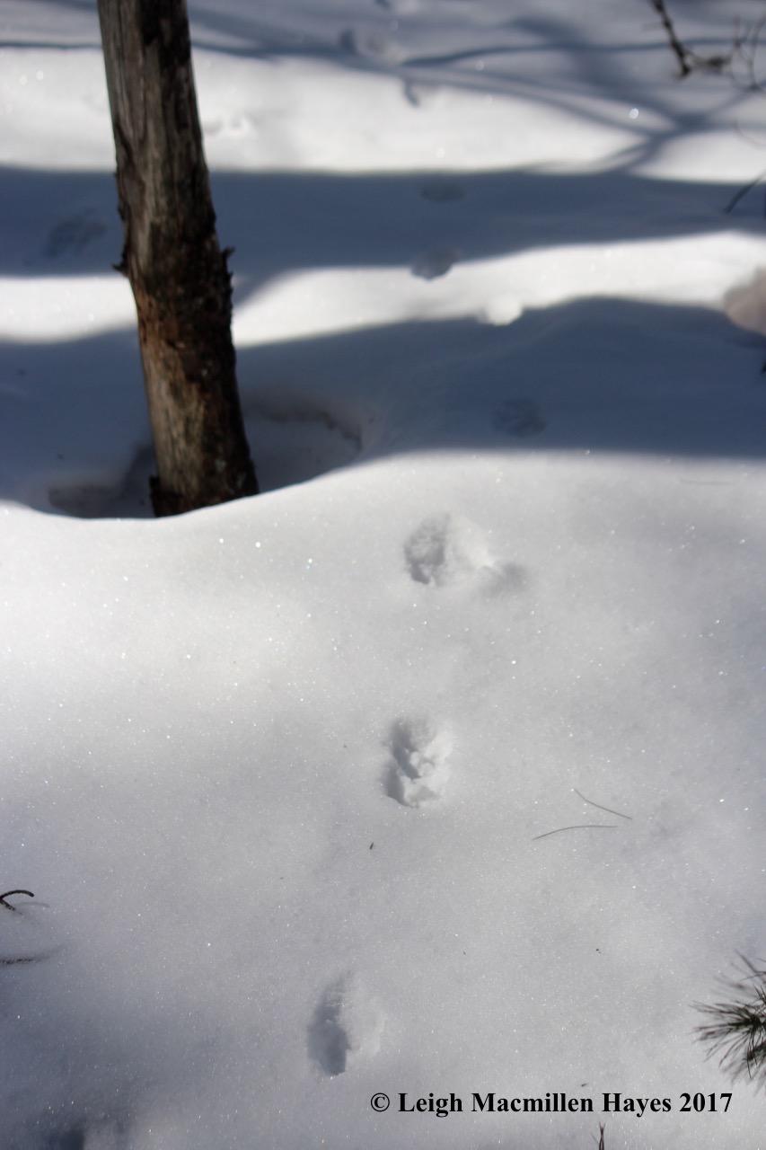o-gray fox tracks