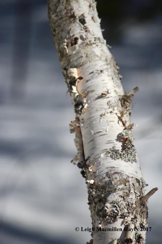 o-paper birch bark1