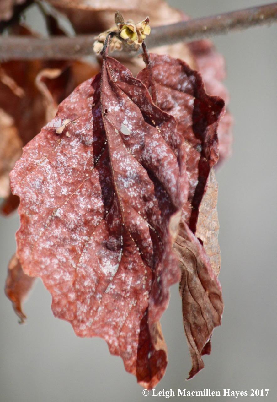 o-witch hazel leaves