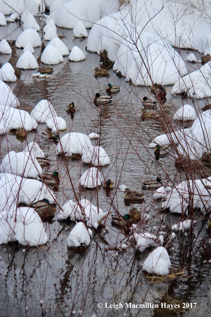 p-ducks 1