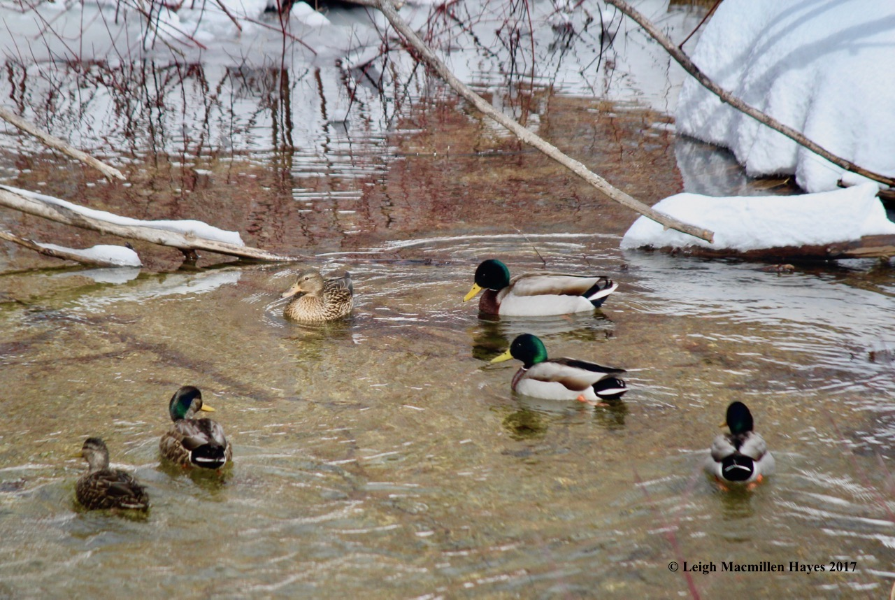 p-ducks 4, black:mallard hybrid?