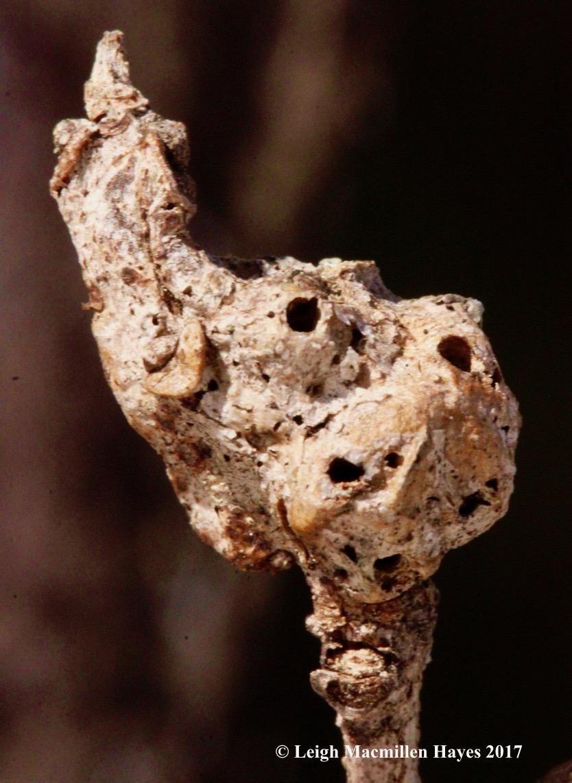 s-oak gall