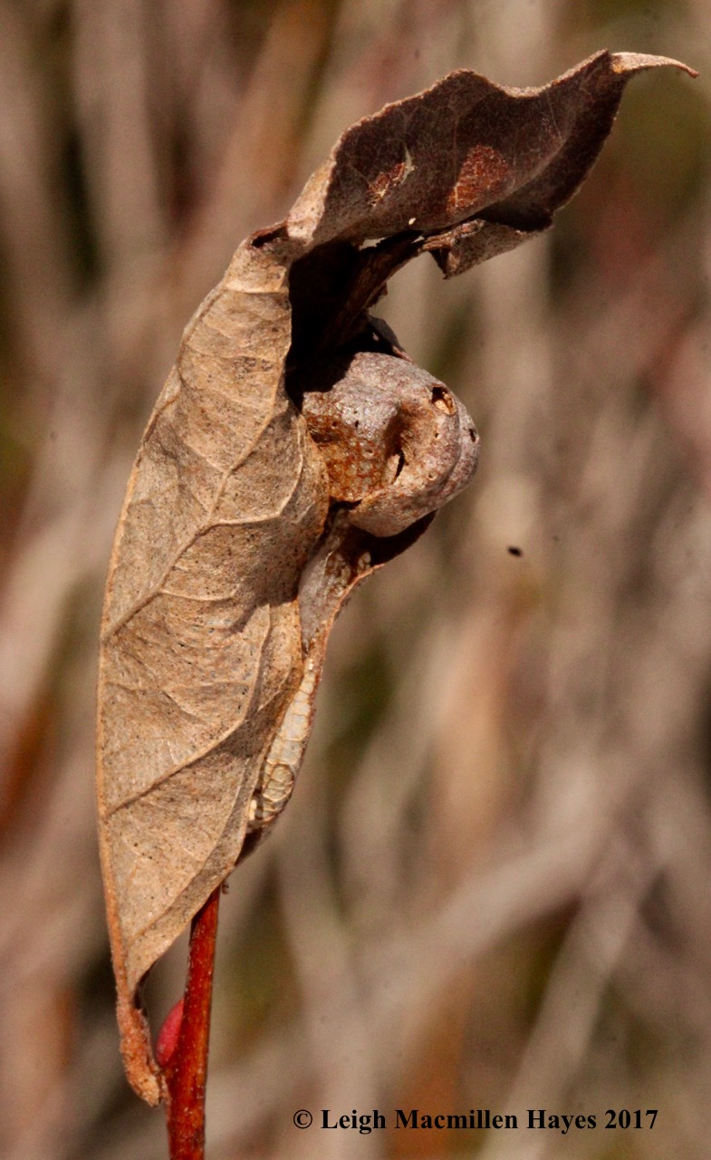 s-red bud insect