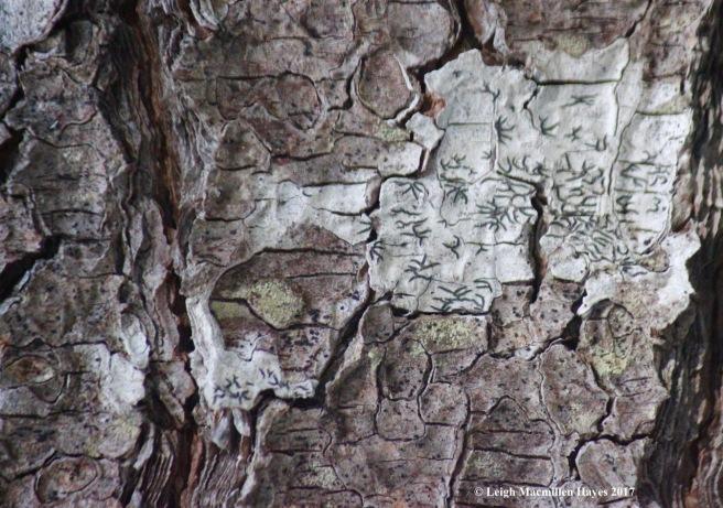 s-script lichen