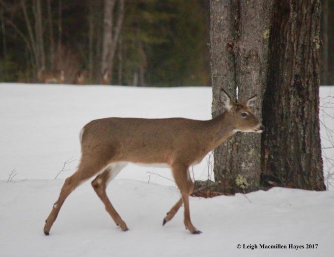 w1--deer 1