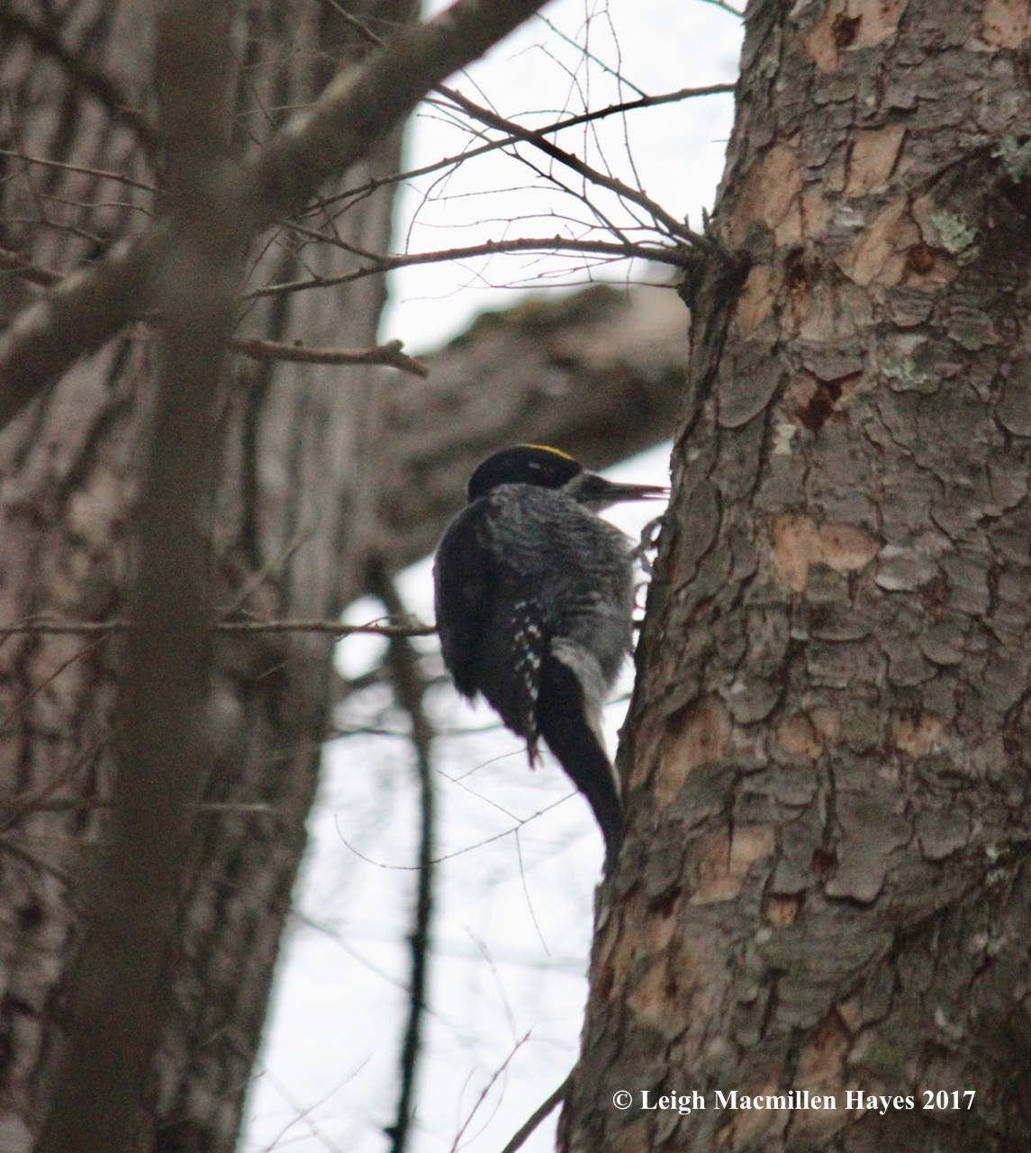 w13-black backed woodpecker