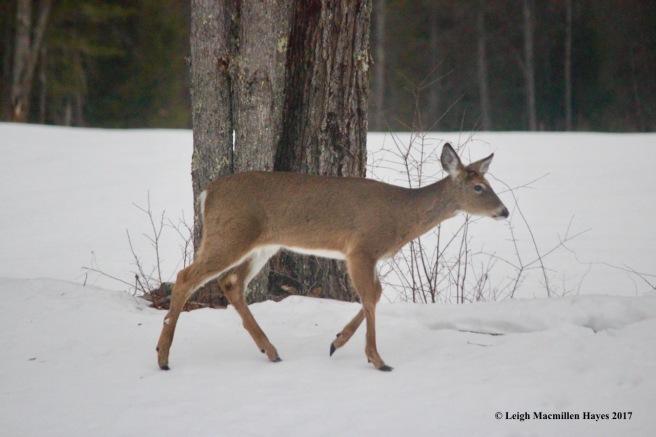 w2-deer 2
