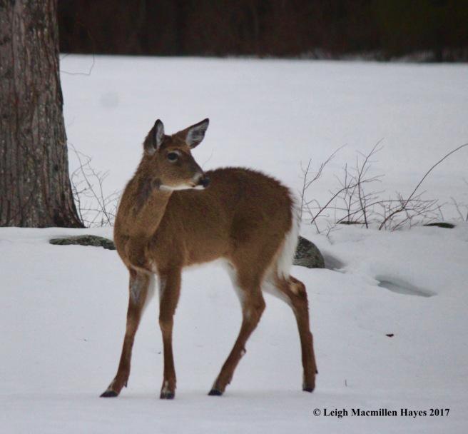 w4-deer 5
