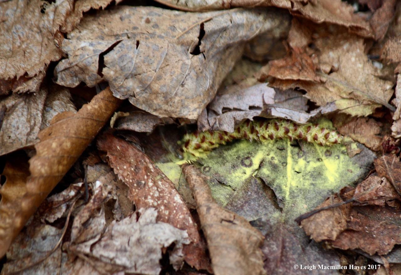 b-birch catkin pollen