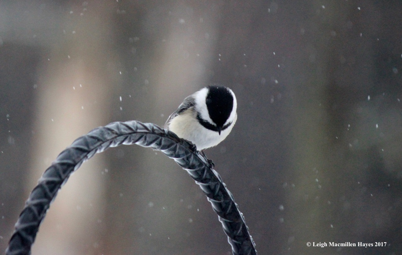 b-chickadee waiting