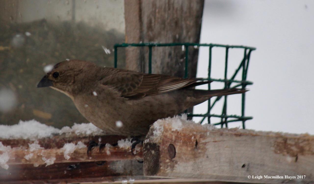 b-cowbird female