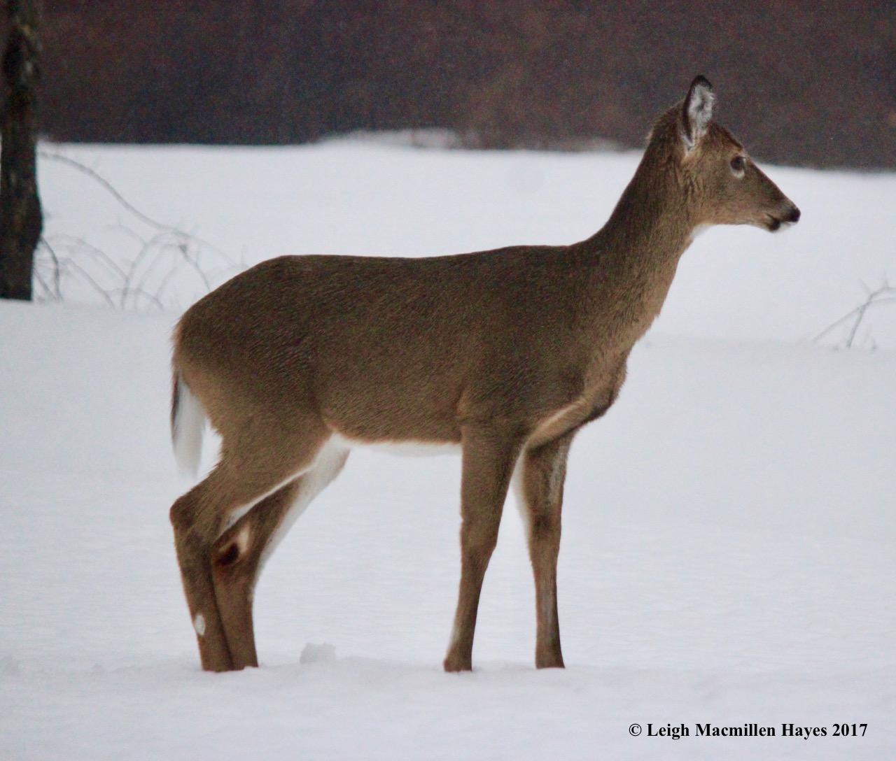 b-deer in yard