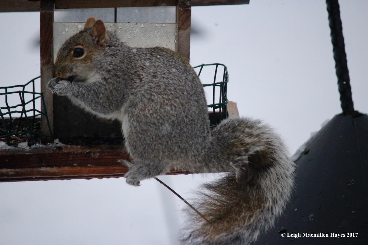 b-gray squirrel