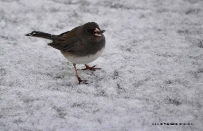b-junco--cigar?