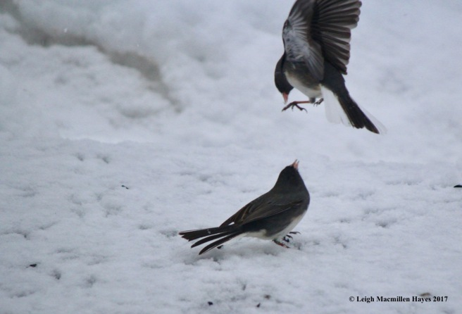 b-junco fight 1